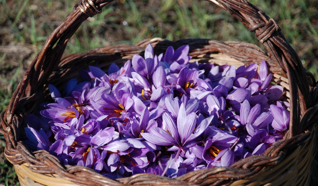 Saffron Cultivation Business