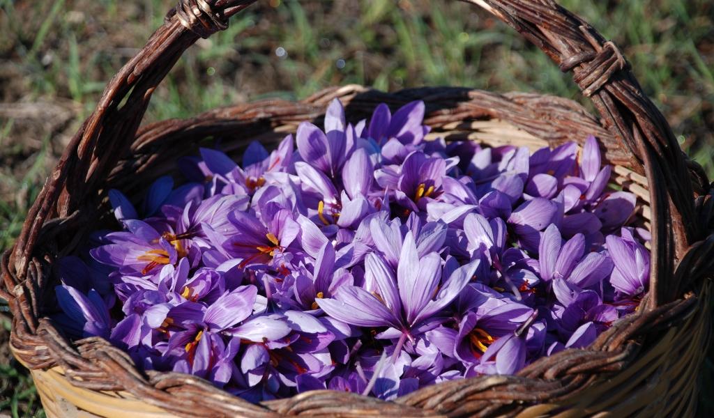 Saffron Cultivation Business